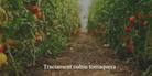 Tractament cultiu tomaquera