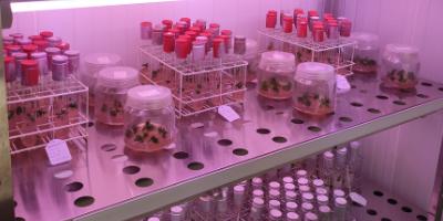 Cultiu in vitro del Cànem